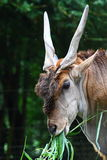 Head of Common Eland Stock Photography