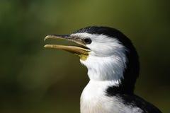 Head of cormorant Royalty Free Stock Photo