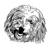 Head Coton de Tulear Stock Photo