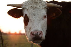 Head of cow Royalty Free Stock Image