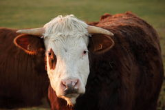 Head of cow Royalty Free Stock Photography