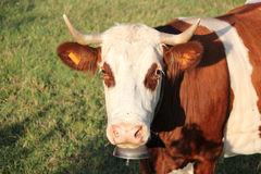 Head of a cow Royalty Free Stock Photo