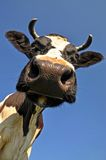Head of a cow. Royalty Free Stock Image