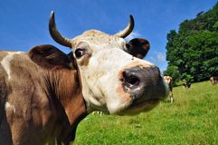 Head of a cow Royalty Free Stock Images