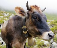 Head of cow Stock Image