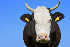 Head of a cow against the sky. Stock Image