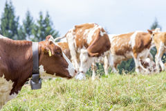 Head of a cow with a bell around the neck Royalty Free Stock Photography