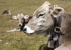 Head of cow (bos primigenius taurus). With cowbell Stock Image