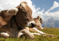 Head of cow (bos primigenius taurus) Stock Image