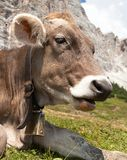 Head of cow (bos primigenius taurus), with cowbell. View of head of cow (bos primigenius taurus), with cowbell Royalty Free Stock Image