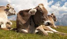 Head of cow (bos primigenius taurus), with cowbell Royalty Free Stock Photo