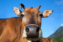 Head of cow closeup Stock Photography