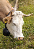 Head of a cow grazing Stock Photo