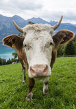 Head of Cow in Meadow Royalty Free Stock Images
