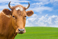 Head of cow over summer meadow Stock Image