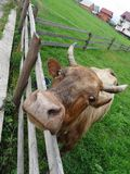 Head of cow over wooden cattle fence on the hill of country pastureland. Dairy cow looks over corral fence on the home pasture at the mountain village Stock Image