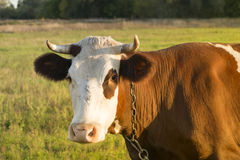 Head of a cow in a pasture Royalty Free Stock Photo