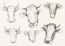 Head of cows Royalty Free Stock Photo
