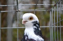 Purebred white-rock dove in a cage, close-up stock photography