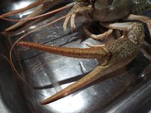 Uncooked crayfish on a plate. Head of a crayfish on a metal plate, ready for boilled stock photo
