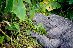 Head of crocodile. Details of the head of a large crocodile in undergrowth in the swampy Florida Everglades.  Species: Crocodylidae Stock Photography