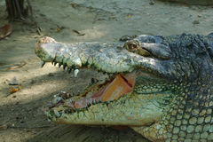 Head of crocodile Stock Image