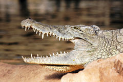 Head of crocodile Royalty Free Stock Photography