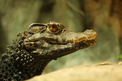 Head of crocodile Royalty Free Stock Image