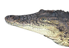 The head of a crocodile close up. Royalty Free Stock Photo