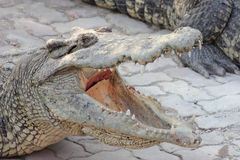 Head of a Crocodile Royalty Free Stock Photos