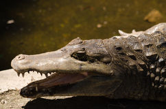 Head crocodile Royalty Free Stock Photo
