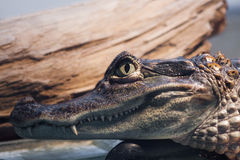 Head of a crocodile. Close up view of the head of a crocodile Royalty Free Stock Images