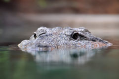 Head of a crocodile. Stock Photography
