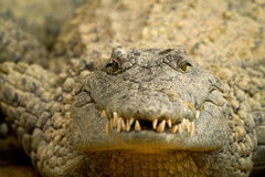 Head of crocodile in closeup Royalty Free Stock Photography