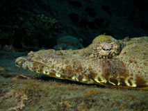Head of Crocodile fish, Red Sea Royalty Free Stock Image