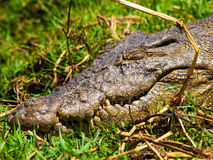 Head of crocodile Stock Photos