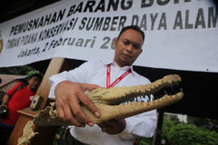 Head of Crocodile  in Indonesia Stock Images
