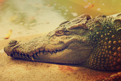 Head of Crocodile Stock Images