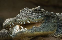 Head of crocodile with open mouth Royalty Free Stock Images