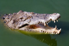 Head of crocodile with open mouth. Close up of the head of crocodile with open mouth Stock Image