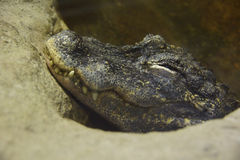 The head of a crocodile out of the water. Royalty Free Stock Images
