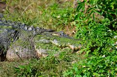 Head of the crocodile Stock Image