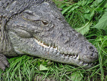 Head of a crocodile. The crocodile was ambushed, which would stock images