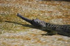 Head of crocodile Stock Photography