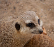 Head of curious meercat Royalty Free Stock Photo