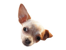 Head of curious chihuahua Royalty Free Stock Photos