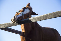 Head of a curious young horse at corral fence Stock Images