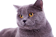 Head of a cute big english cat Stock Photo