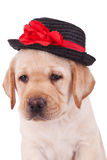 Head of a cute labrador retriever puppy Stock Photo