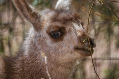 Head of a cute little baby llama stock images